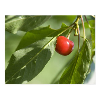 red cherry postcard