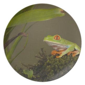 Red-eyed Leaf Frog, AKA Red-eyed Tree frog Plate
