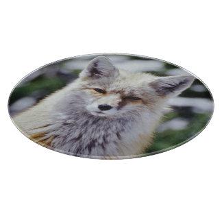 Red Fox sitting on snow bank, Vulpes, Mt. Cutting Board