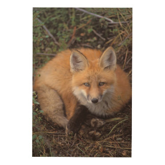 red fox, Vulpes vulpes, in fall colors along Wood Canvas