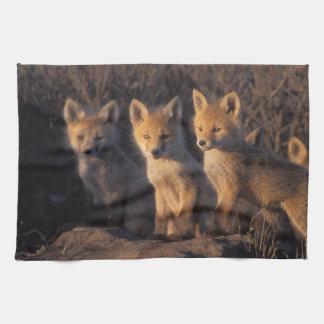 red fox, Vulpes vulpes, kits outside their Tea Towel