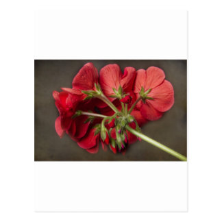 Red Geranium In Progress Postcard