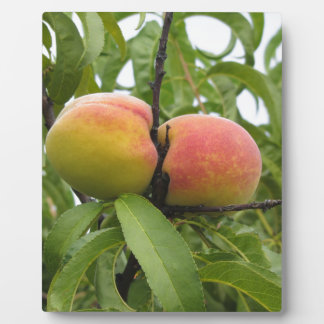 Red peaches hanging on the tree . Tuscany, Italy Plaque