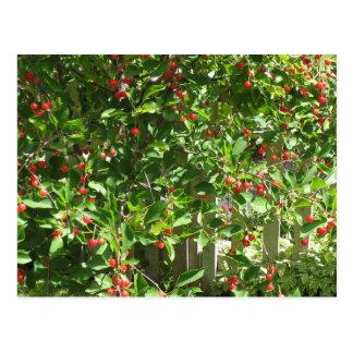Red Pie Cherries Postcard