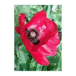 Red Poppy Acrylic Wall Photo Acrylic Wall Art