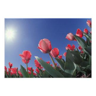 Red tulips from very low angle, Cincinnati, Photo