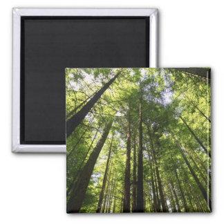 Redwood Forest, Rotorua, New Zealand Square Magnet