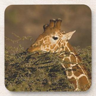 Reticulated Giraffe, Giraffe camelopardalis Coaster
