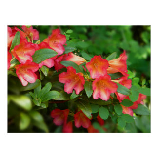 Rhododendrons Red Orange 2 Poster