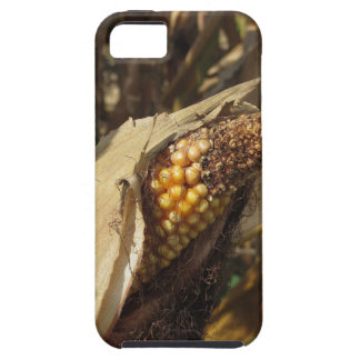 Ripe and ready to harvest ear of corn iPhone 5 covers