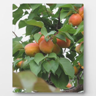 Ripe apricots hanging on the tree . Tuscany, Italy Plaque