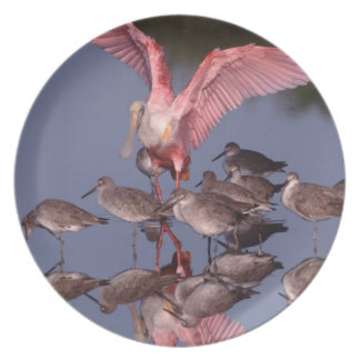 Roseate Spoonbill with Willets in shallow water Plate