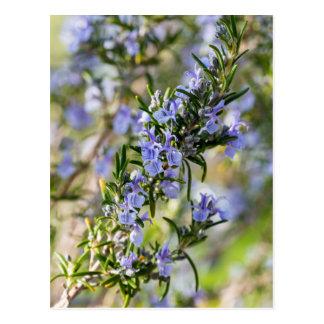 Rosemary blossom in spring macro postcard