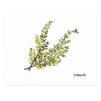 Rosemary herb Rosemary watercolour painting Postcard
