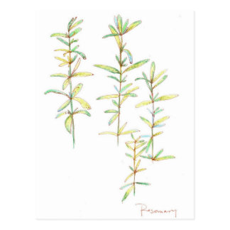 Rosemary Herbal Plant Botanical Art Drawing Postcard