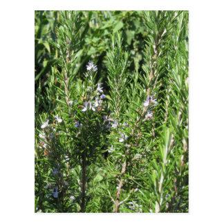 Rosemary plant postcard