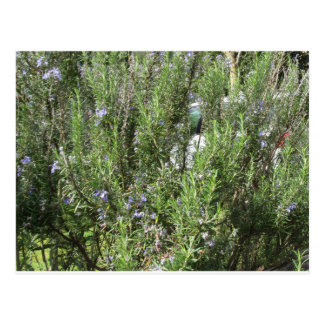 Rosemary plant with flowers . Tuscany, Italy Postcard