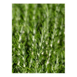Rosemary (Rosmarinus officinalis) branches Postcard