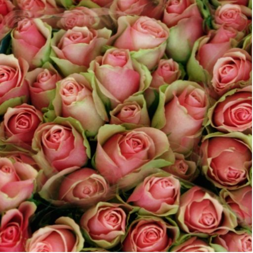 Roses Photo Cut Outs