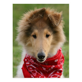 Rough collie puppy dog cute beautiful photo postcards