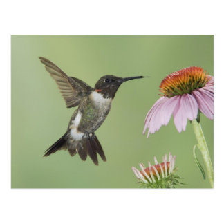 Ruby-throated Hummingbird, Archilochus 3 Postcard