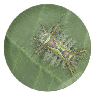 Saddleback moth, Acharia sp., poisonous Plate