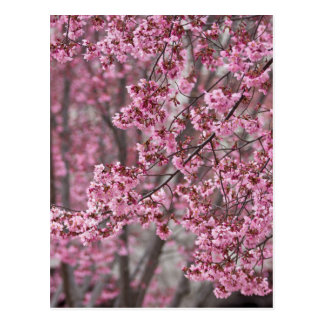 Sakura Cherry Blossoms Flowing Pink Postcard