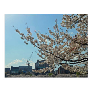 Sakura in Japan Postcard