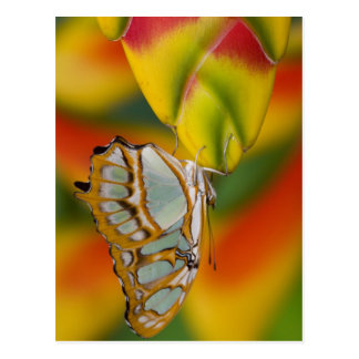 Sammamish, Washington Tropical Butterfly 7 Postcard