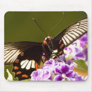 SE Asia, Thailand, Doi Inthanon, Papilio polytes 2 Mouse Pad