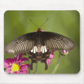 SE Asia, Thailand, Doi Inthanon, Papilio polytes Mouse Pad