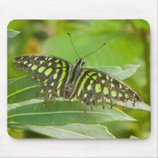 SE Asia, Thailand, Tailed Jay Butterfly Mouse Pad