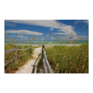 Sea oats Uniola paniculata growing by beach Posters