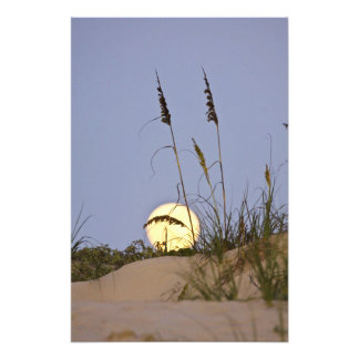 Sea Oats Uniola paniculata) growing on sand Photograph