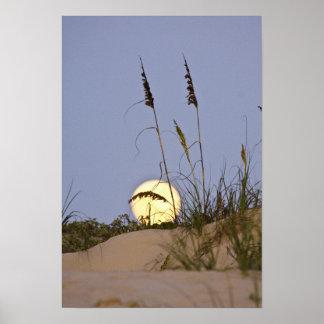 Sea Oats Uniola paniculata) growing on sand Poster