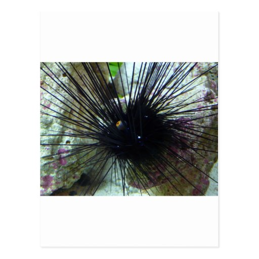 sea urchin post cards