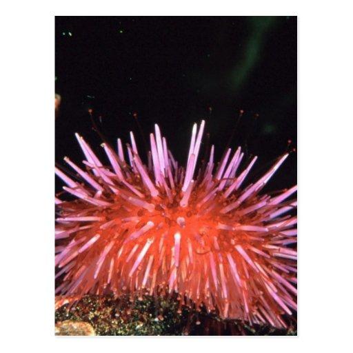 Sea Urchin Postcards