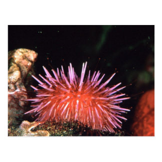 Sea Urchin Postcard