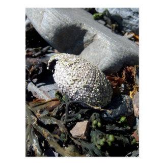 Sea Urchin Shell 1 Postcard