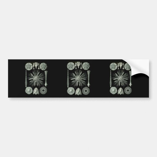 Sea Urchins Bumper Sticker