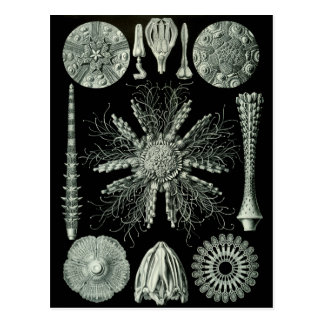 Sea Urchins Post Cards