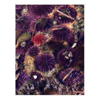 Sea Urchins Post Card