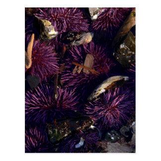 Sea Urchins Postcards