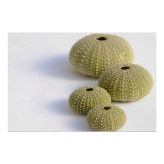 Sea urchins poster