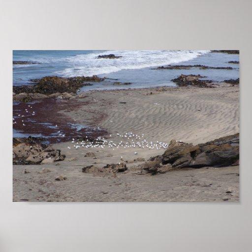 Seagulls Feeding On The Beach In Dunedin Poster