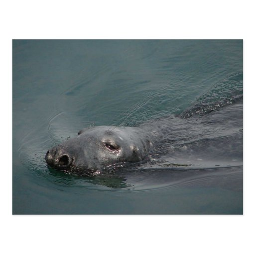 Seal, Stornoway Harbour, Outer Hebrides Post Card