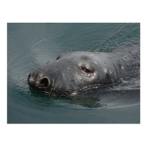 Seal, Stornoway Harbour, Outer Hebrides Postcards