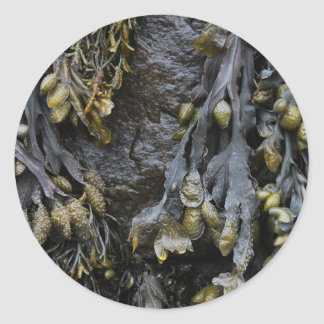 Seaweed Picture. Classic Round Sticker