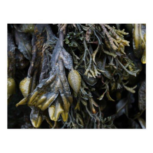 Seaweed. Postcards