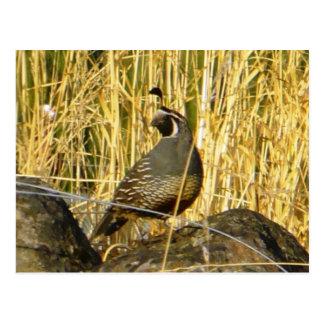 Sentinel quail postcard
